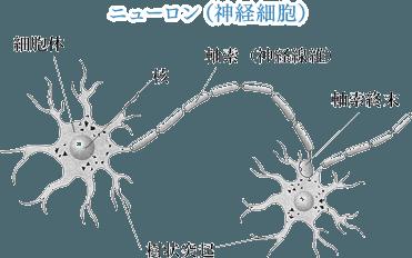 ニューロン(神経細胞)